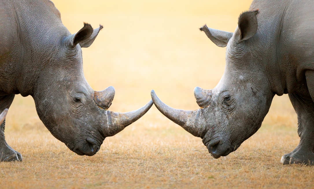 Rhinos-in-South-Africa